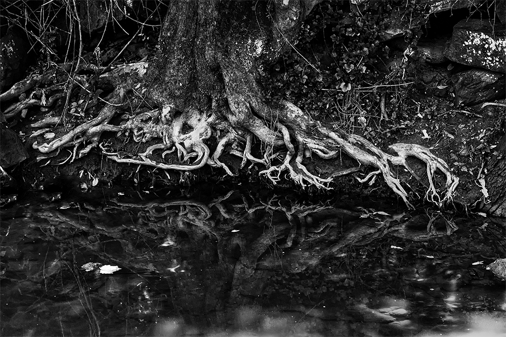 "David Pittenger ""Tree Roots Along A Stream"""